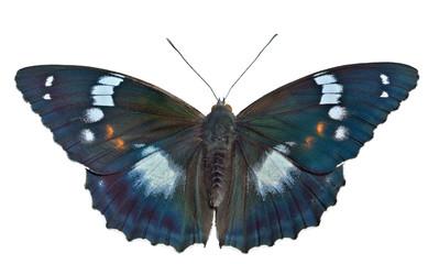 Butterfly (Apatura schrencki) 32