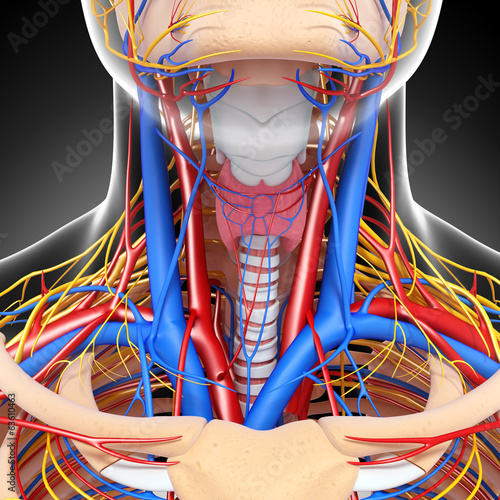 Anatomy of circulatory system and nervous system