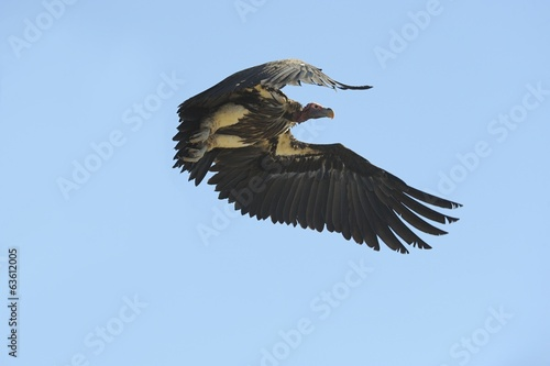 Lappet-faced Vulture (Torgos tracheliotus) in flight