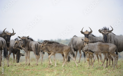 Blue Wildebeest (Connochaetes taurinus) herd with young