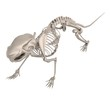 realistic 3d render of mouse skeleton