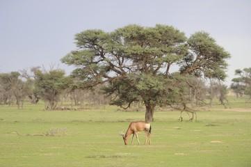 Red Hartebeest (Alcelaphus caama), Kgalagadi Transfrontier parrk