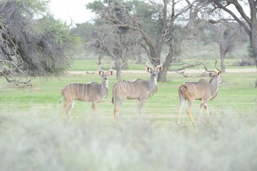 Three male Kudu (Tragelaphus stepticeros), Kalahari desert