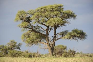 Acacia. Camelthorn Tree in Kalahari Desert