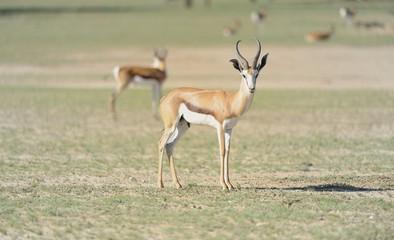 Sprinbok (Antidorcas marsupialis) in the Kalahari desert