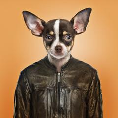 Chihuahua wearing a leather jacket, orange background