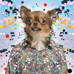 Chihuahua wearing a spotted shirt, spotted background