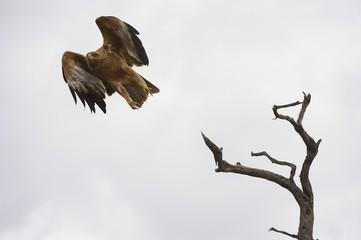 Tawny Eagle (Aquila rapex) in Flight, Kgalagadi Transfrontier Pk