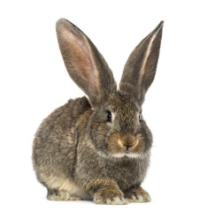 Rabbit, isolated on white