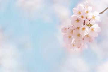 桜 晴天 青空