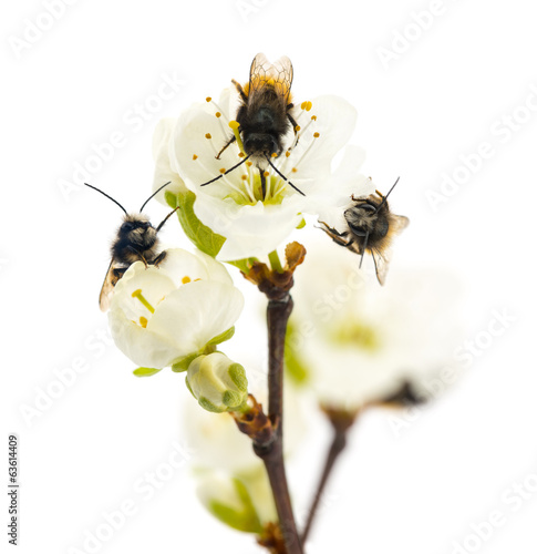 Group of Bees pollinating a flower - Apis mellifera, isolated on