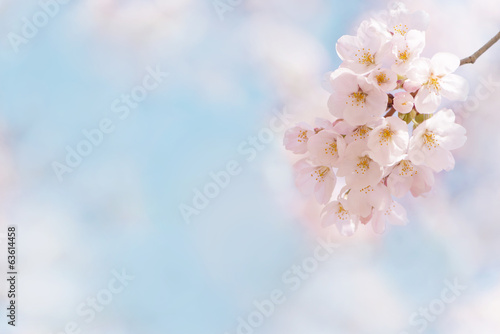 Papiers peints Cerises 桜 晴天 青空