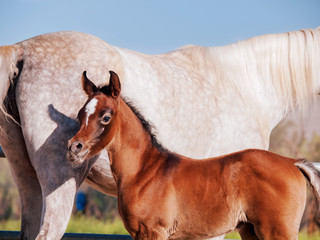arabian little foal with mom