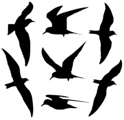 Common Tern in flight silhouettes