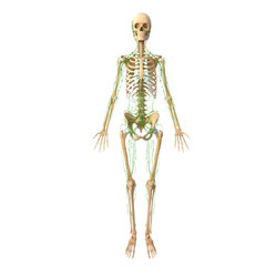 3d skeleton with lymphatic system