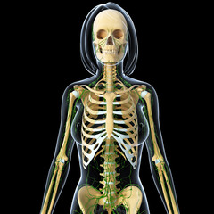 Anatomy of female skeleton with lymphathic system