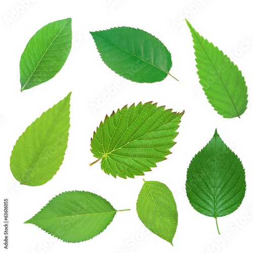 Leinwandbild Motiv Set of beautiful green spring leaves isolated on white