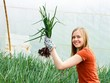 Glasshouse Onion Culture