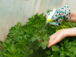 Parsley Bush Watering