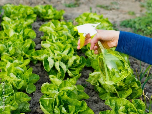 Watering the Salad Bed