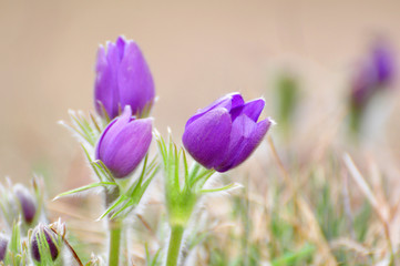 Pasque flower, Pulsatilla patens