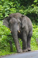 Wild elephants in Thailand Khao Yai National Park, Thailand