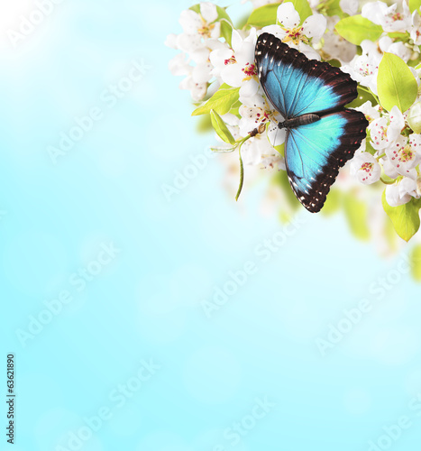 Apple tree blossoms with butterfly