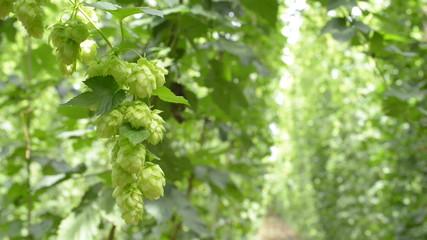 hop-garden
