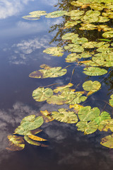 Waterlily leaves