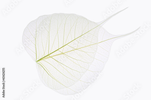 two bodhi leaves vein