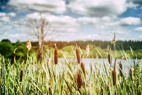 Landscape with bulrush