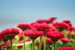 aster flowers closeup