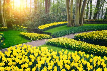 Spring landscape with yellow daffodils. Keukenhof garden