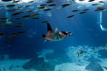 Lisbon Oceanarium manta ray