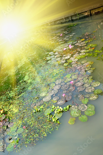 Pond with water lily flower