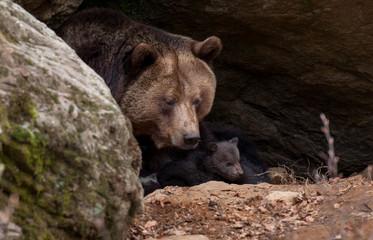 Junger Braunbär - Ursus arctos