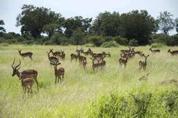 group impala