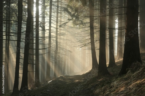 Coniferous forest surrounded by dense fog at sunrise