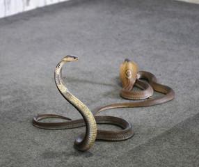 Cobra portrait