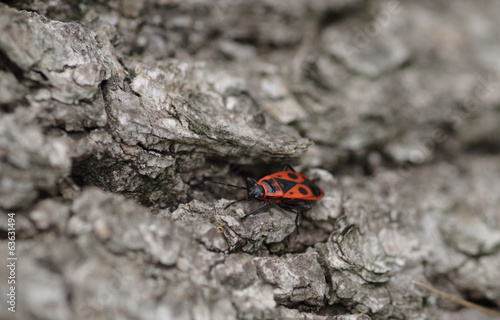 Firebug on lime tree