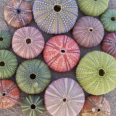 variety of colorful sea urchins  on wet sand beach