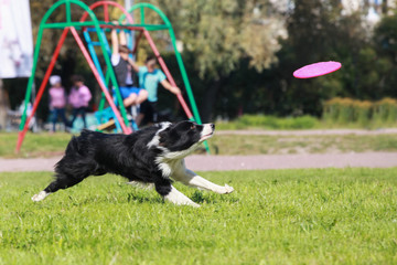 Smart border collie running on the meadow