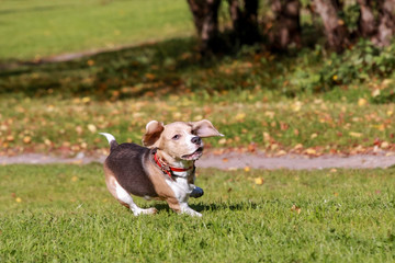 Beauty beagle dog running on green meadow