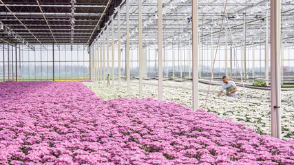 Worker between colorful chrysanthemums in a Dutch greenhouse