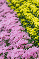 Colorful chrysanthemums in a Dutch greenhouse