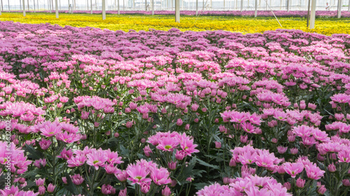 Aluminium Colorful chrysanthemums in a Dutch greenhouse