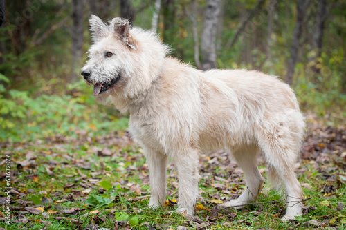 Mixed breed sdog sitting on leaves in the autumn forest