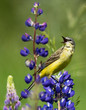 Singing Western Yellow Wagtail on lupine flower