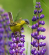 Western Yellow Wagtail with feed on lupine flower
