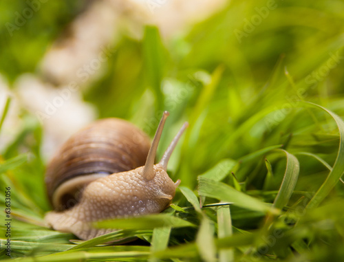 Snail creeping on a green grass